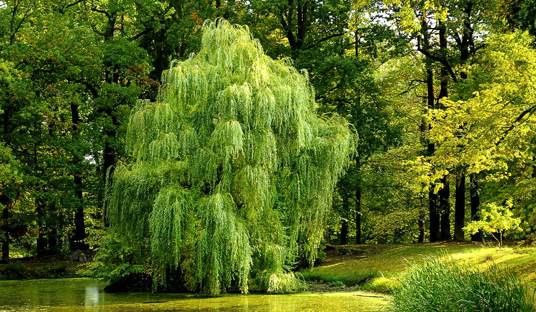 Eco Poem | Weeping Willowed Souls