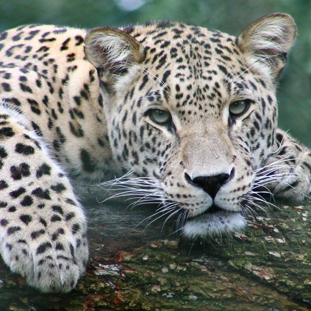 Leopard: Your animal spirit guide during the full moon in Libra