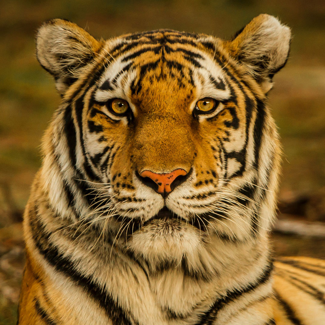 Tiger: Your animal spirit guide during the full moon in Libra