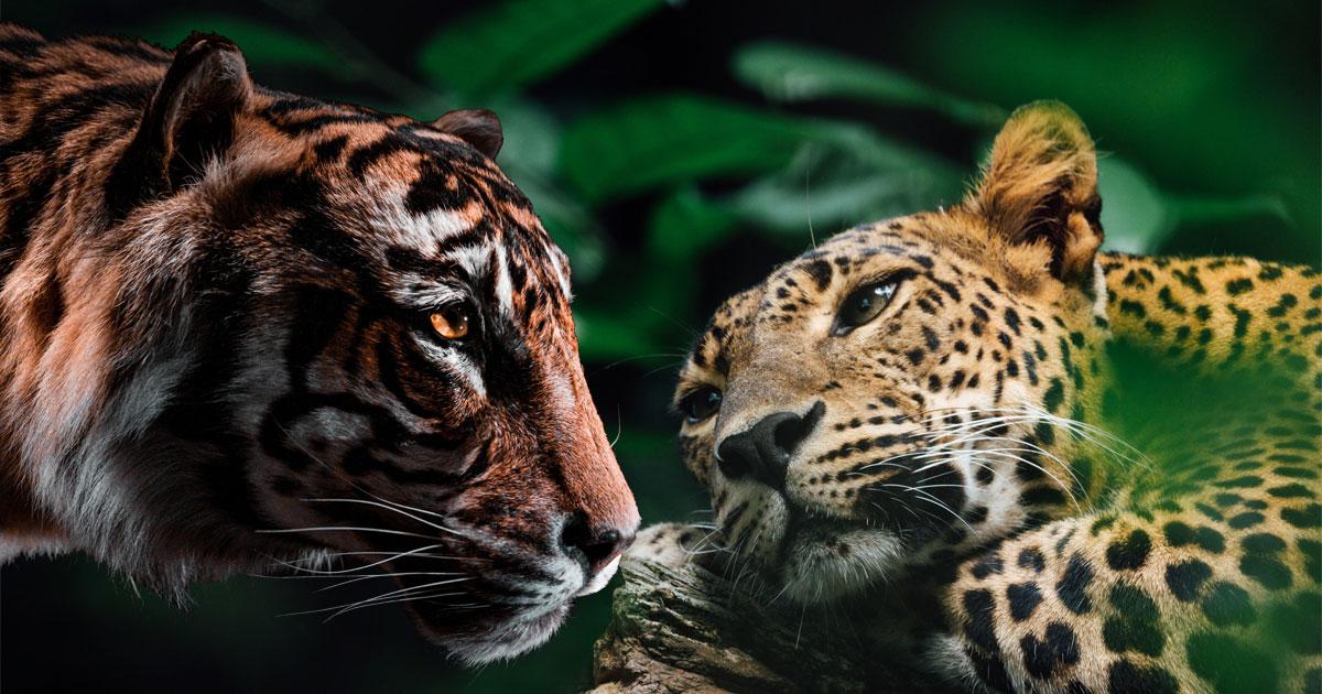 Tiger & Leopard: Animal Spirit Guide