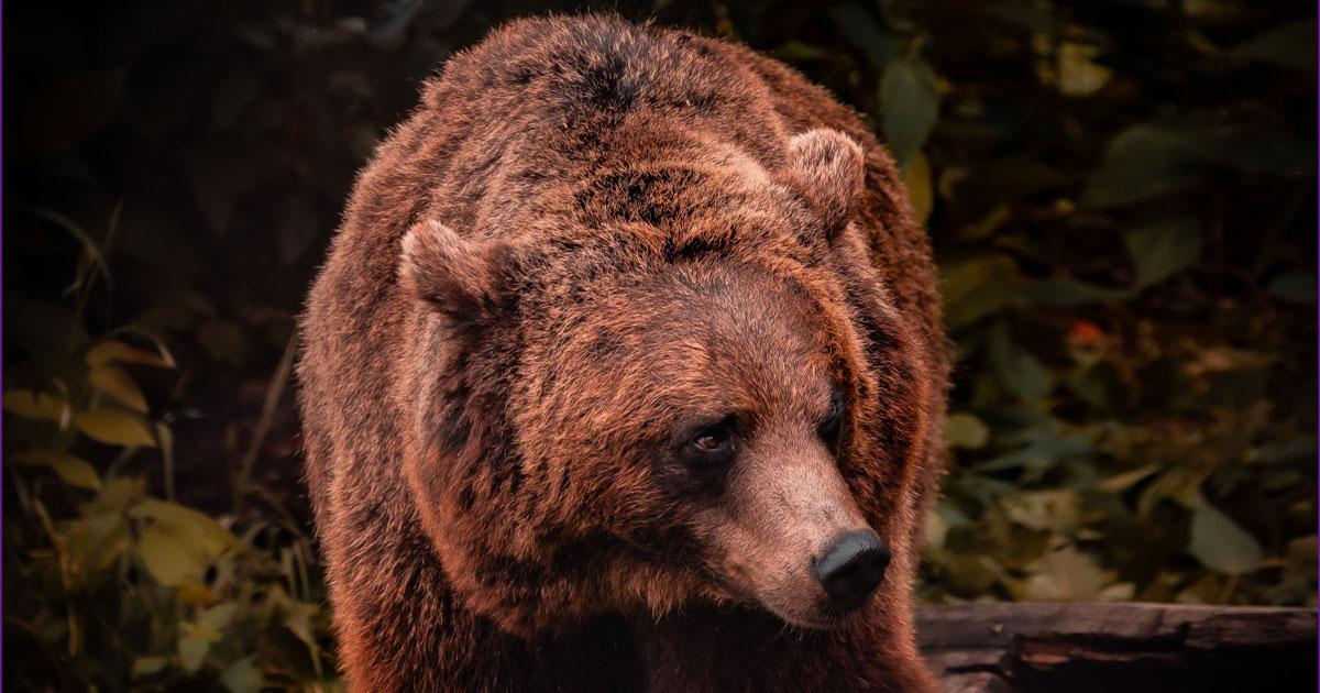 Bear as your Animal Spirit Guide