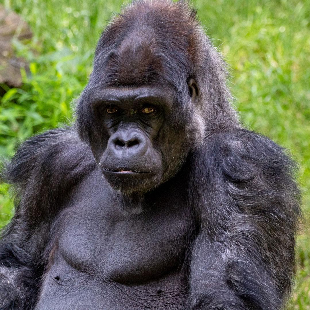 Gorilla Animal Spirit Guide