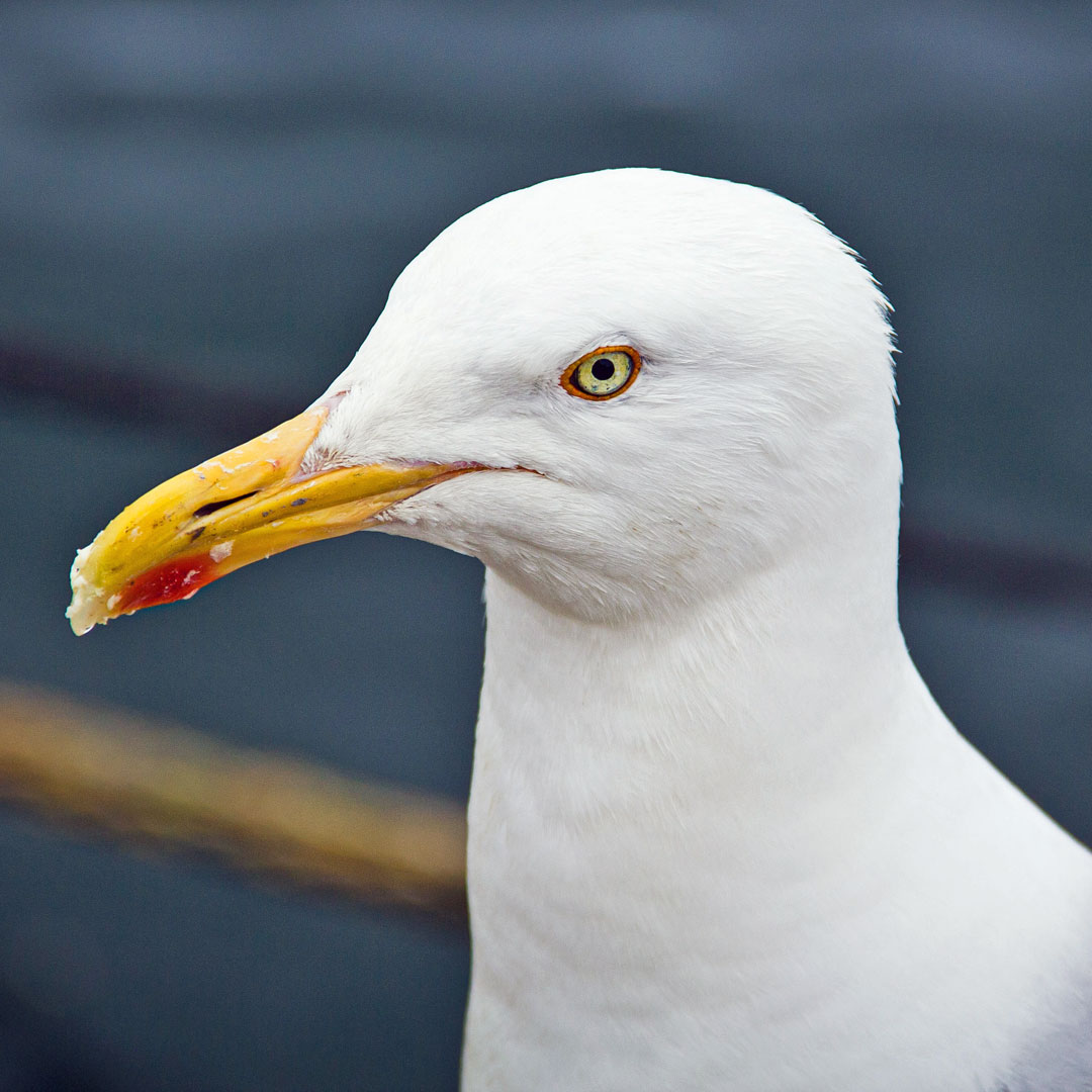Seagull Animal Spirit Guide