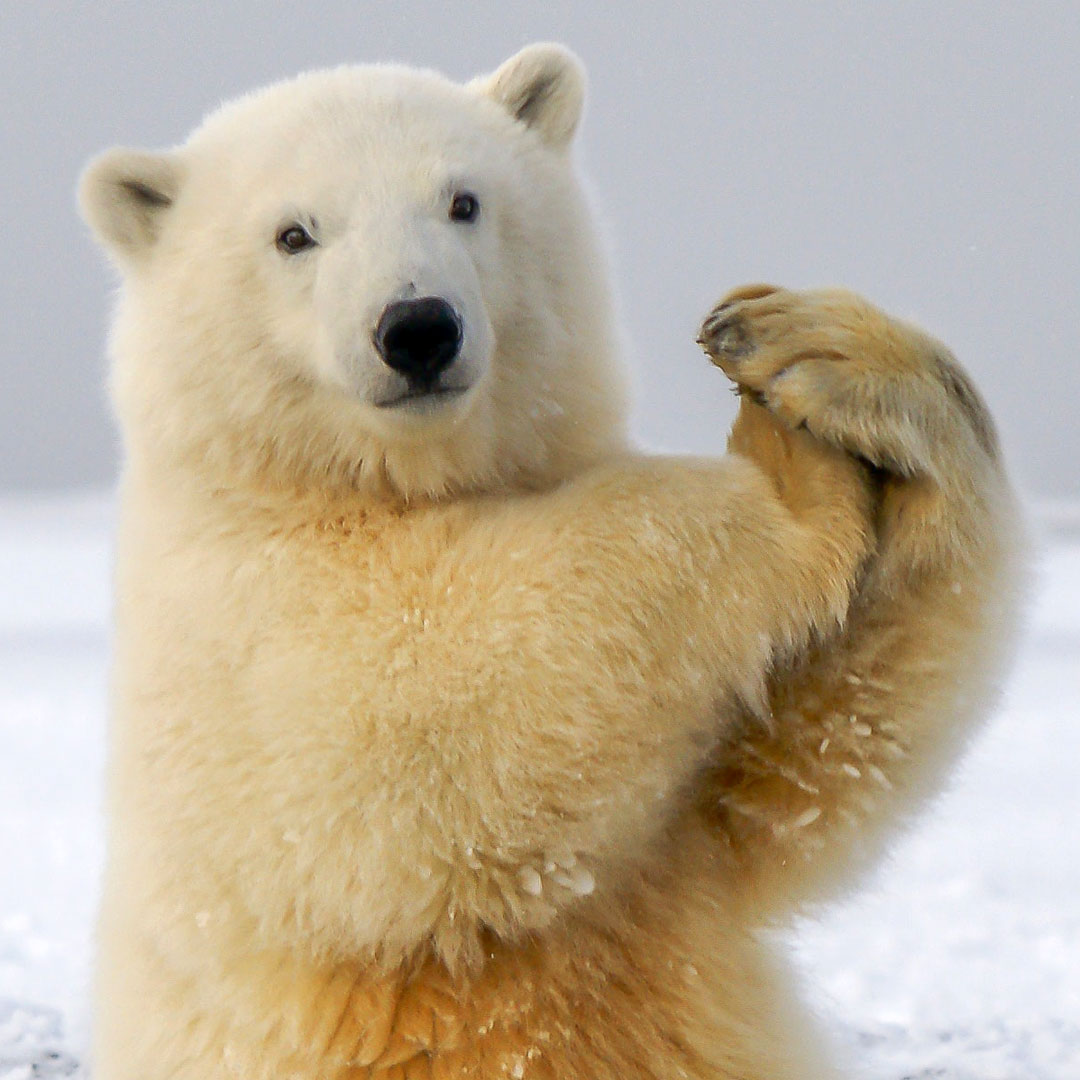 Polar Bear: Your Animal Spirit Guide